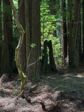 Redwoods 1