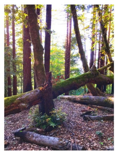 Redwoods Mendocino